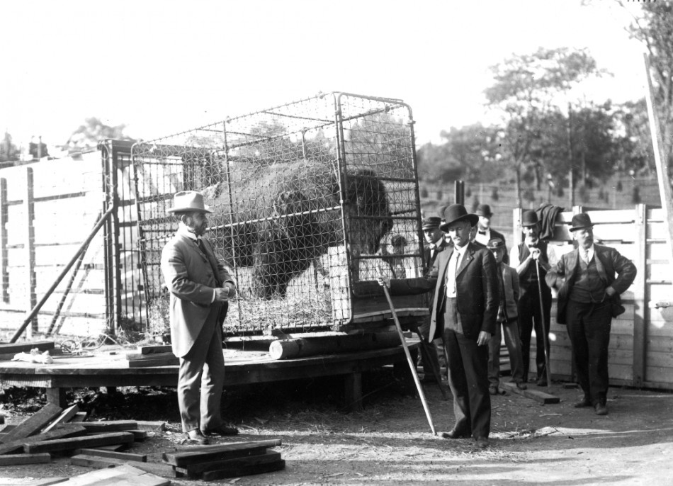Hornaday with bison at Bronx Zoo, 1907